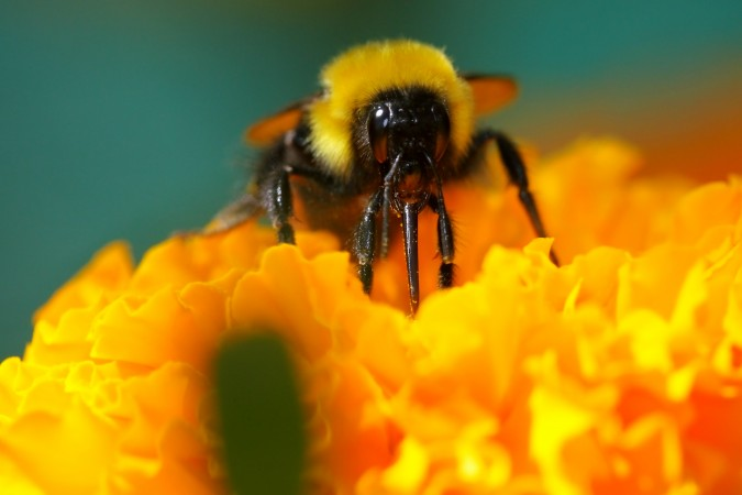 Bumble bee by Flickr user Pavan Kunder, photo taken August 24, 2011. Posted via Creative Commons commercial license.