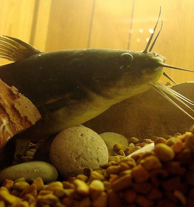 Catfish (photo by Fickr user WallTea)