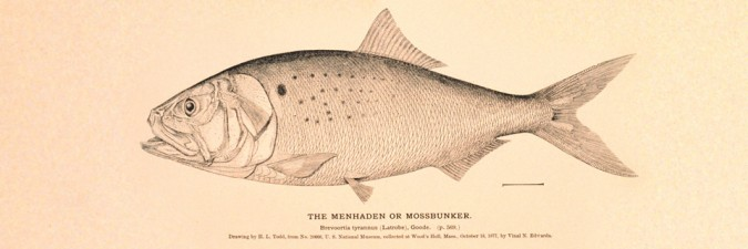 Menhaden fish (photo from gilttaste.com)