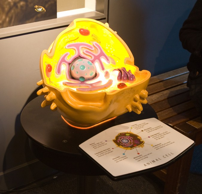 A model of an animal cell at The Exploratorium science museum at The Palace of Fine Arts in San Francisco, California USA, January 2, 2013